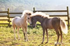 potrillos caballos mi iatura