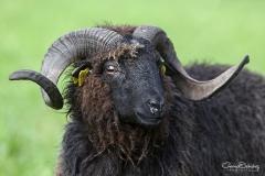 Carnero de oveja Xalda