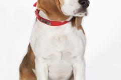 Beagle mirada
