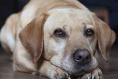 Mirada de Labrador