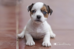 pequeño Jack russell
