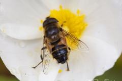 Abeja polenizando heliantemo. gemasanchezfotografia.com