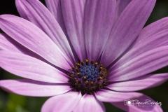 Flor Margarita gemasanchezfotografia