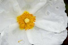 Flor de Heliantemo gemasanchezfotografia.com