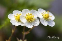 Flor de la fresa