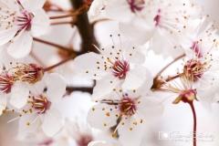 Flor del manzano. gemasanchezfotografia.com