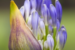 foto grafía de flor Agapanto gema sánchez fotografía