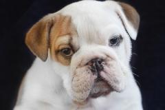 Cachorro Bulldog Inglés 09