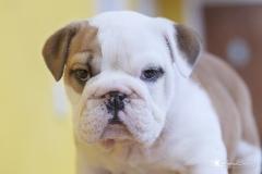 cachorro bulldog inglés 01
