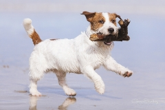Jack Russell en la playa