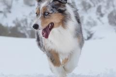 Pero pastor australiano en la nieve