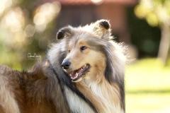 Perro Collie retrato