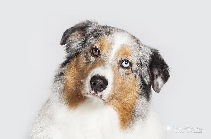 Retrato de un perro Pastor Australiano