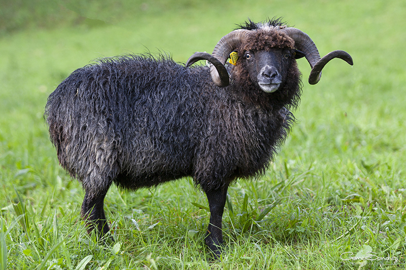 Carneo oveja Xalda
