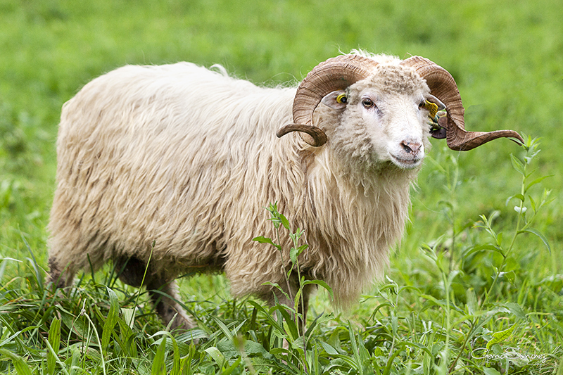 Carnero oveja Xalda macho