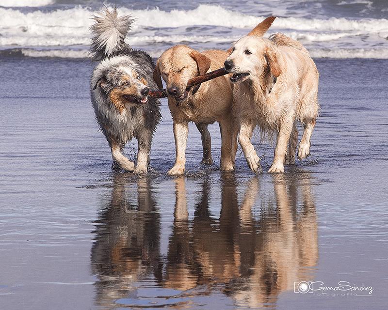 Foto profesional de Gema Sánchez de tres perros disfrutando de la playa con un palo