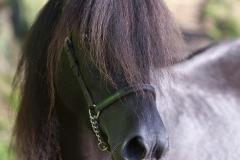 Asturcón-caballo