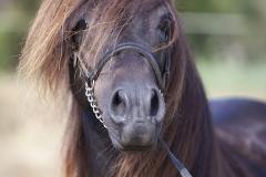Asturcón-retrato-caballo