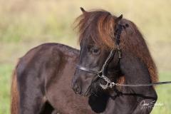 Retrato-caballo-Asturcón