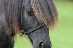 Retrato caballo asturcón
