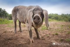 Cerdo Asturcelta