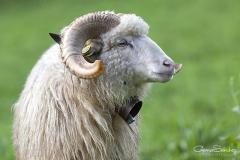 Macho oveja Xalda