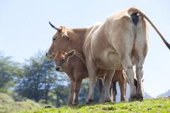 Vaca con su hija