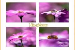 DImorfotecas