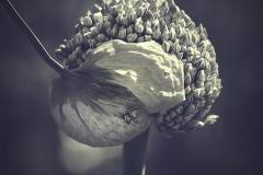 Planta-de-cebolla