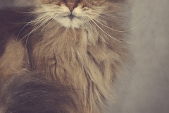 gato-persa-retrato