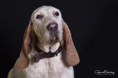 Mirada perro sabueso
