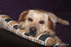 Perro y su sofá