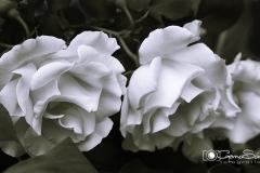 Tres rosas blancas