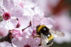 1_Cerezo-con-abeja