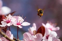Abeja-en-busca-de-flor
