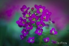 Flor-de-la-miel