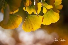 Ginkgo-Biloba-en-otoño