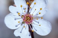 Macro flor del cerezo