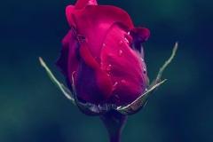 Rosa-anocheciendo