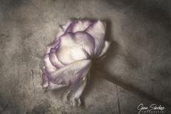 Rosa-en-el-suelo