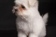 Bichón-cachorro