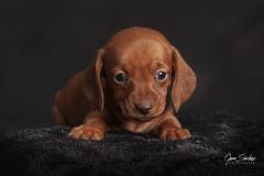 Cachorro-Teckel