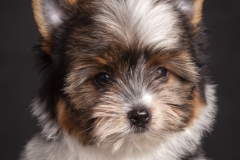 Cachorro-Yorkside