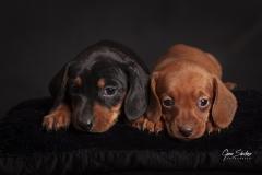 Cachorros-Teckel