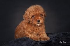 Caniche-cachorro