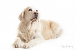 Golden Retriever 04