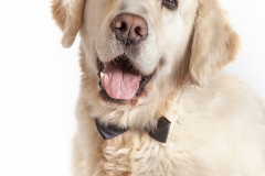 Golden Retriever retrato