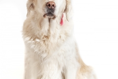 Golden retriever 05