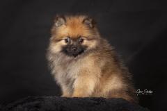 Pomerania-baby
