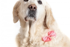 Retrato Golden Retriever